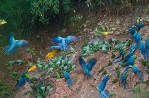Macaws load up on sodium at a clay lick.