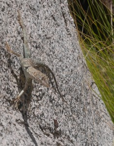 lizard at palm Canyon Anza-Borrego