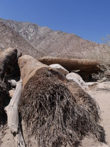 Palm Canyon fallen tree Anza-Borrego