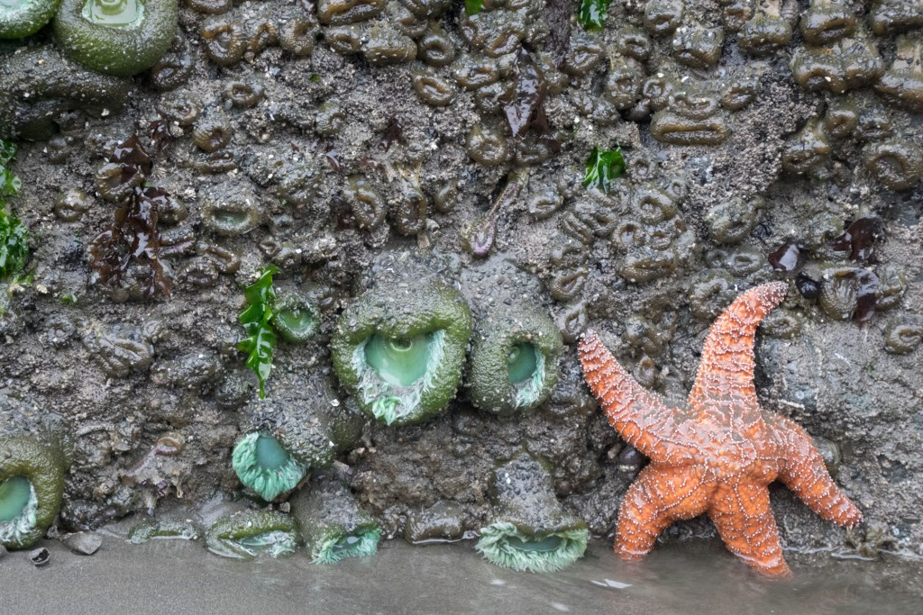 ochre star Ruby Beach