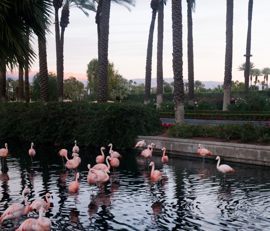 JW Desert Springs flamingoes